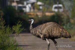 Emu.lsc2.WIA03.04.15